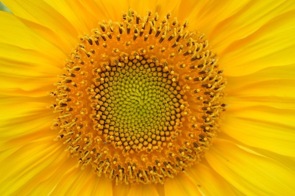 sunflower-829967_960_720